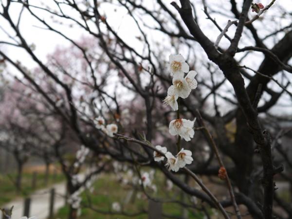都市農業公園 梅の花