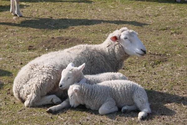 もこもこ赤ちゃん羊ともご対面! 春のマザー牧場