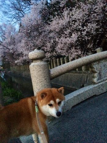 桜並木と柴犬