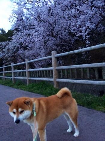金沢 桜並木
