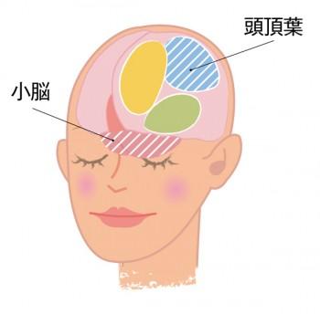 頭頂葉と小脳の図