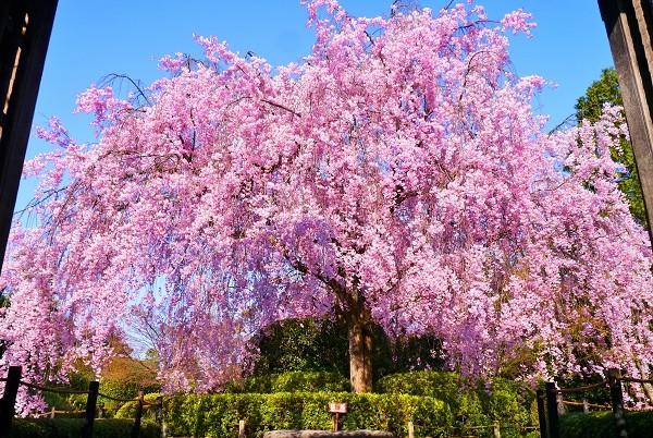 京都のお花見は、京都ブライトンホテルの「早朝拝観」ステイで
