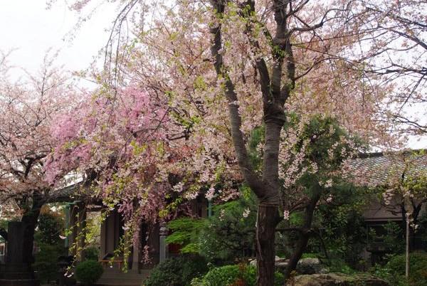 上野から谷中へ  穴場のお花見寺めぐり(後編)