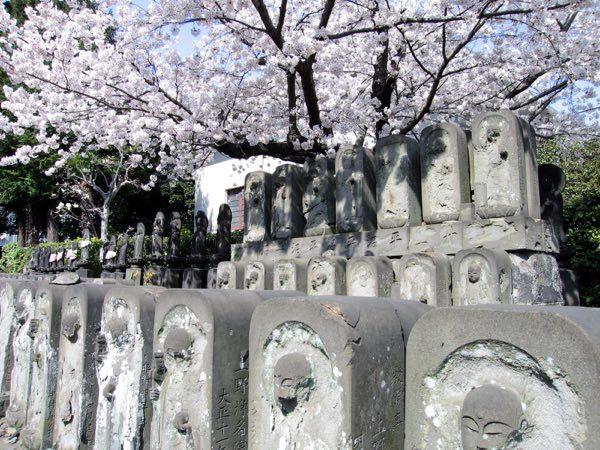 吉田浄名院の桜