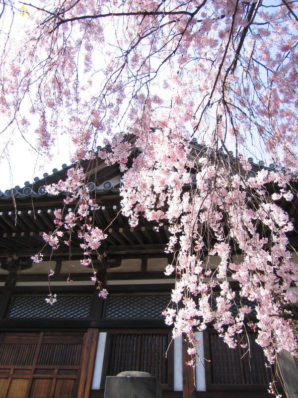 吉田谷中、そこらへんの桜