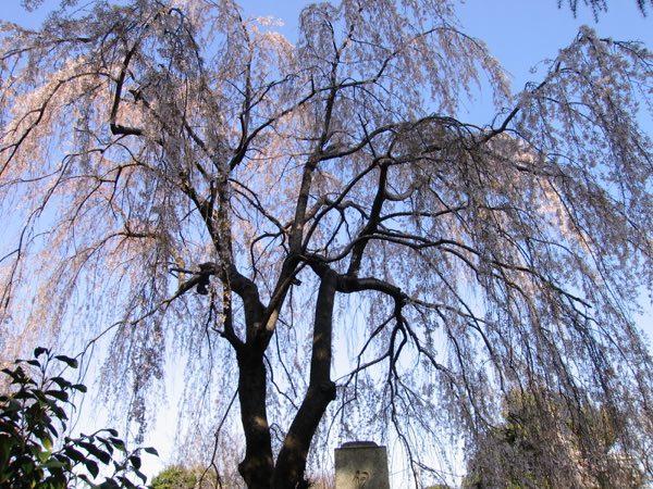 吉田本行寺のしだれ桜