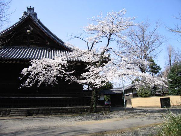 吉田寛永寺 桜1