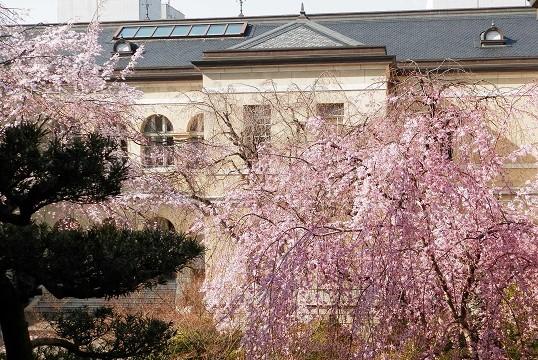 歴史的洋館で眺める枝垂れ桜 「京都府庁旧本館中庭」