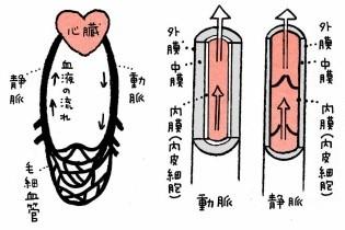 硬くなった血管イメージ