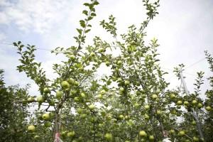 りんご部_photo
