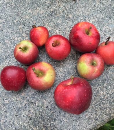 樫出さん りんご