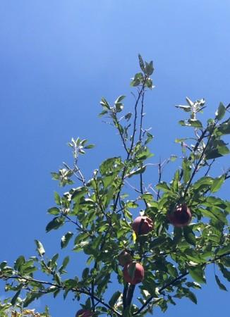 樫出さん りんごの木