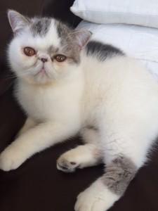 更年期御用達。我が家の癒し系猫・ミルクちゃんです。