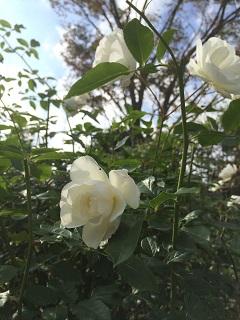 小林さん バラ