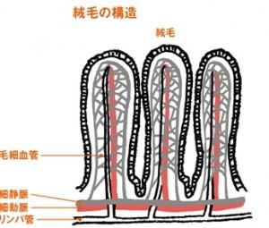 胃腸粘膜の小腸絨毛