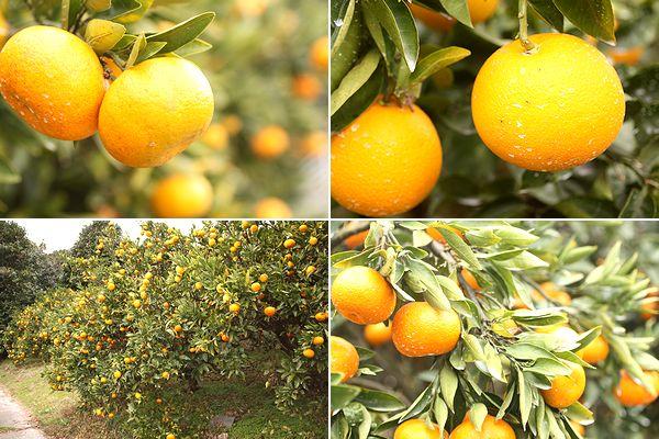 瀬戸内海に柑橘類の美味しい季節がやってきた