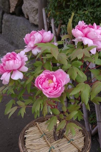 鎌倉の花_後7