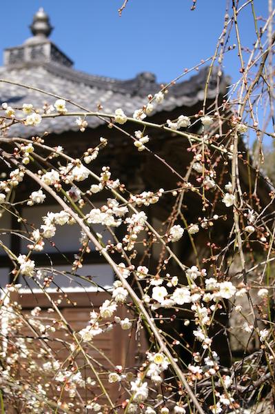 鎌倉の花_前8