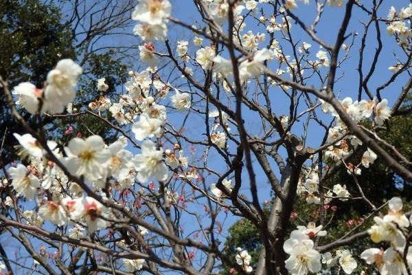 梅は冬の終わり。東京ドームのお隣、小石川後楽園へ