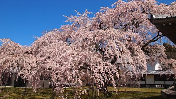 石井_桜_1