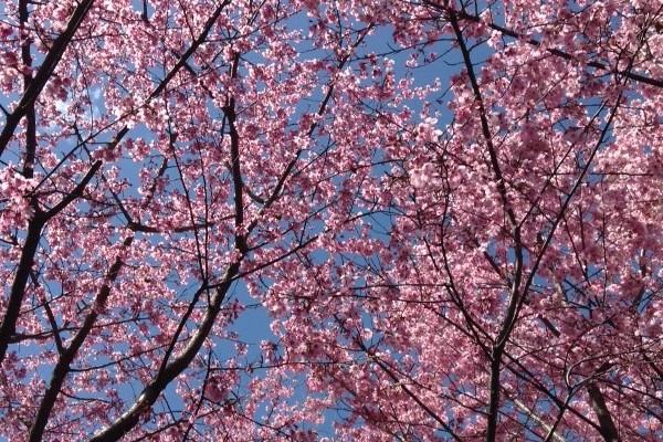 神田川から椿山荘にかけての春のお散歩コース