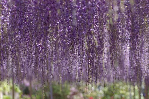 世界一美しい藤の花を愛でながら、一眼レフカメラに挑戦!