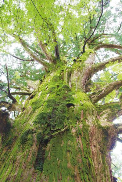 """塚本さんが""""心の樹""""と呼ぶ、樹齢1,300年の視界に入りきらないぐらい大きな春埜杉。周囲には清らかな空気が流れています"""