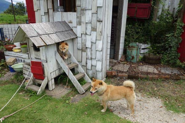 石井南阿蘇9看板犬