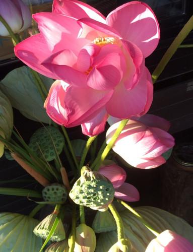 樫出さん 蓮の花