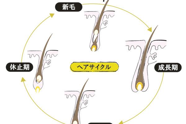 「薄毛」と「白髪」の原因と対策/ヘアサイクルを整え、メラノサイトの活動を促す