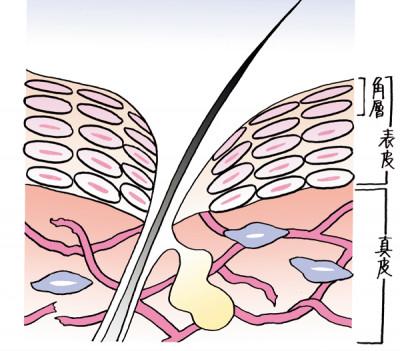 eclat大人の毛穴 肌断面図