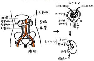 """""""肝腎要(かんじんかなめ)""""の腎臓はオシッコを作るだけじゃない!/Dr.根来の体内向上プロジェクト"""