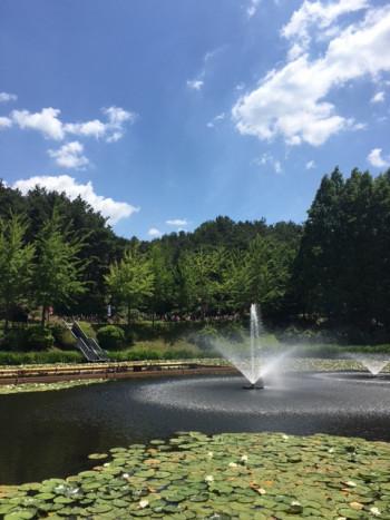 蓮が群生する池