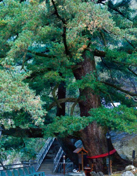 假期大飯店 五葉松の大木
