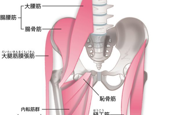 「骨盤まわり」の仕組み/②骨盤と筋肉