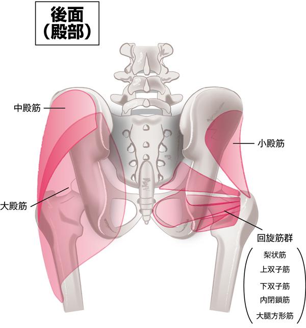 骨盤まわり」の仕組み/②骨盤と筋肉 | OurAge - 集英社の雑誌MyAgeの ...