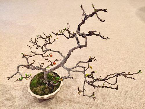朝倉さん 盆栽