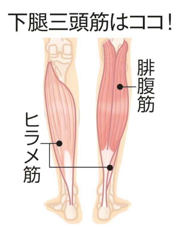 「下腿三頭筋」の画像検索結果