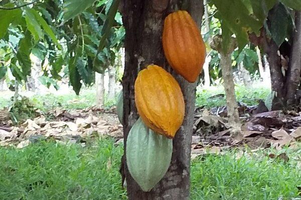 コナで人気のコーヒー農園「村松小農園」へ。ステキなオーナーご夫婦に出会いました