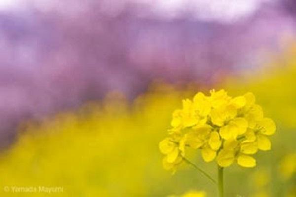 お花見どこへ行きますか? 湯河原の梅まつりで春を満喫