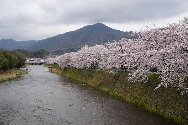 観光客が少ない京都の桜の名所  賀茂川・高野川沿い