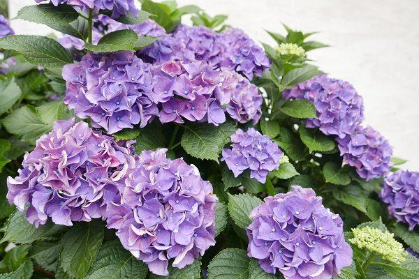 紫陽花と6月のおもてなし
