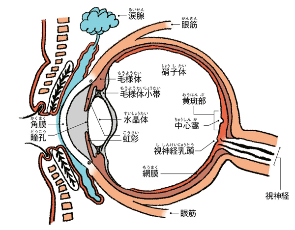目の健康寿命 眼球断面図