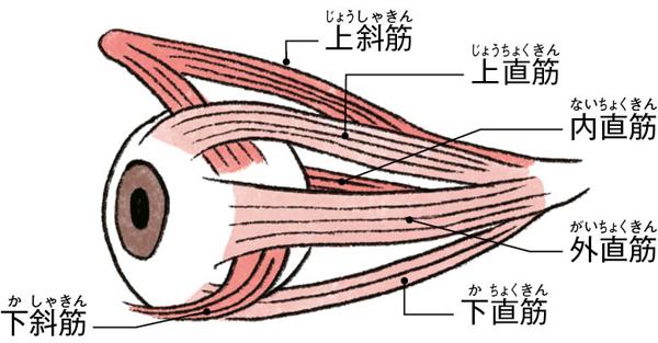 目の健康寿命 眼球筋肉