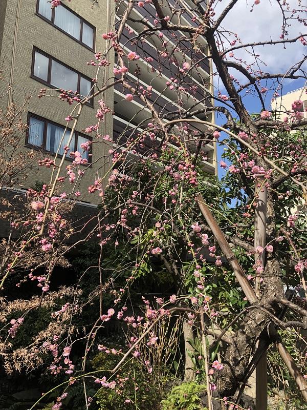 朝倉さん 桜