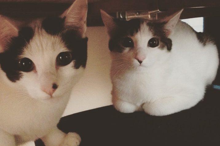 #stayhomeニャ♪ 姉妹猫シンクロの不思議を思う…