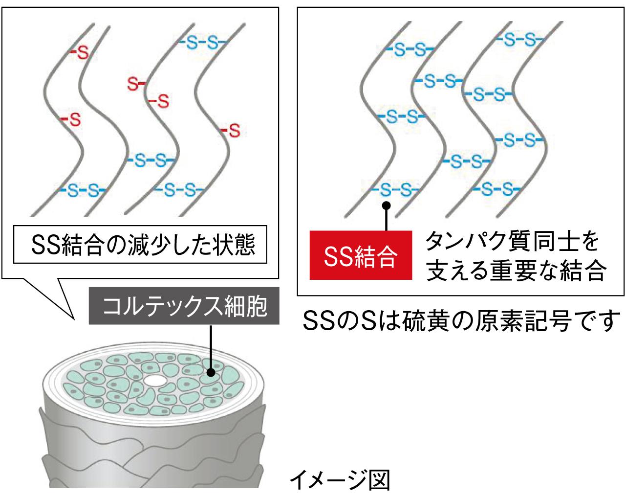 髪を構成するタンパク質の強度を保つSS結合イメージ図