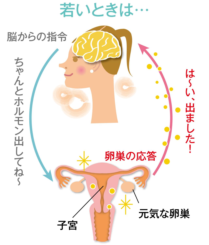 女性ホルモンが正常に分泌されている若いとき