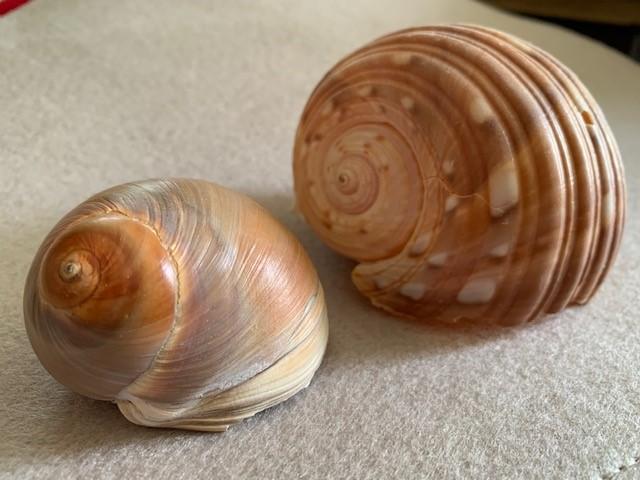 水彩画 書き方 貝殻
