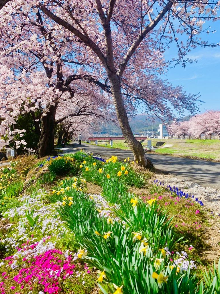 横河川の桜並木の根元に咲く、黄水仙や芝桜